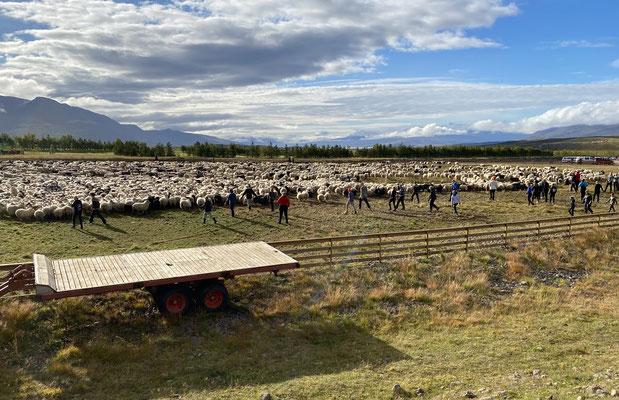 Die Schafe werden sortiert