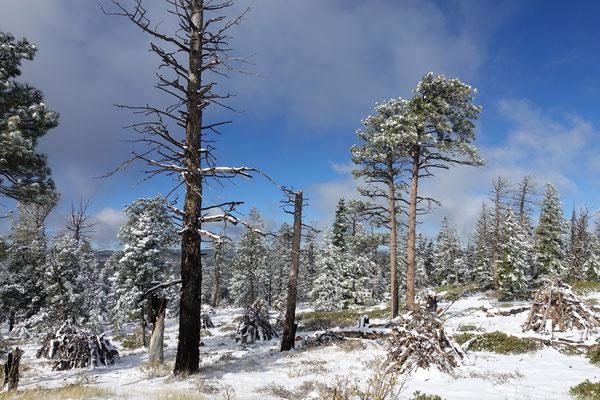Tiefverschneite Wälder erwarten uns im...