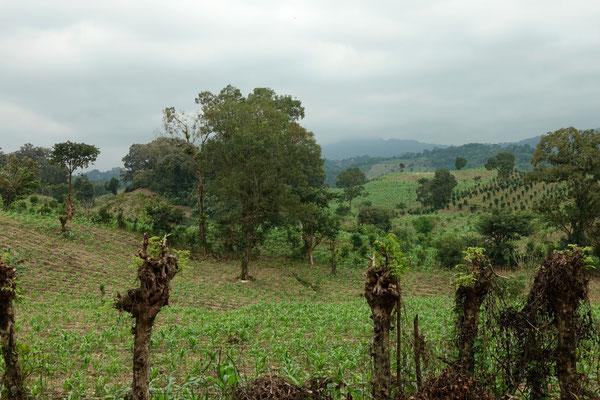 Fruchtbarer Boden, Mais wächst überall