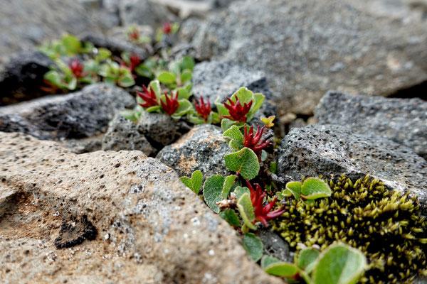 Hochlandflora