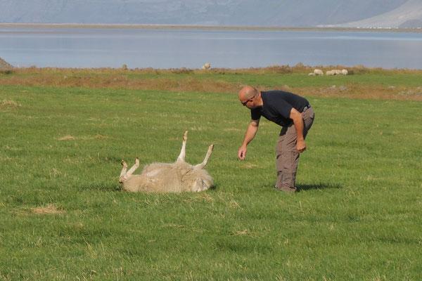Dieses Schaf braucht Hilfe - Beat packt es am Bein und dreht es um...määhhh, danke!