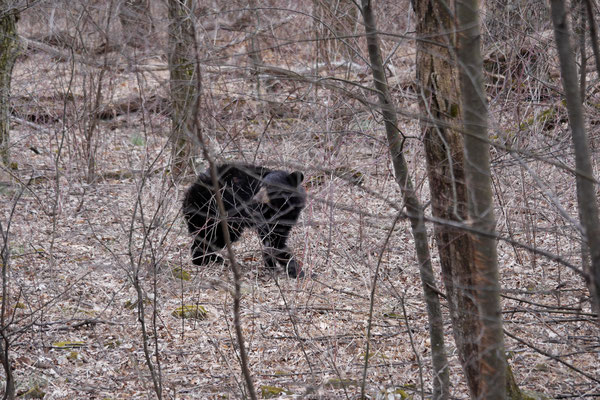 Es hat funktioniert mit den Hufeisen...wir sehen doch tatsächlich nochmals Bären :-)!