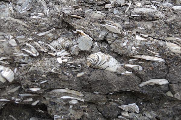 Muschelschichten, Millionen von Jahren alt...