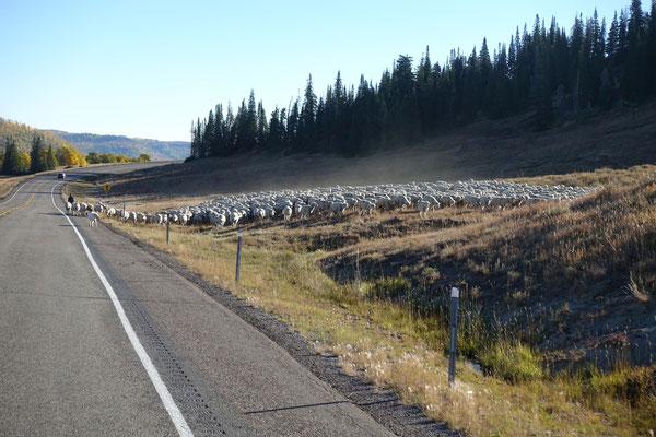 ...bis die Schafe am richtigen Ort sind