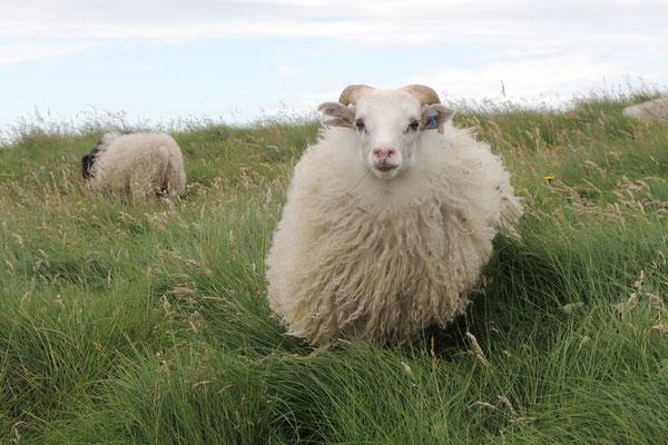 ...und neugierige Schafe
