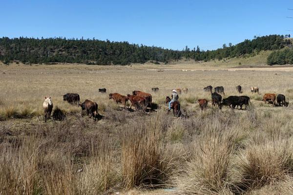 Die Kühe dürfen auf die Weide