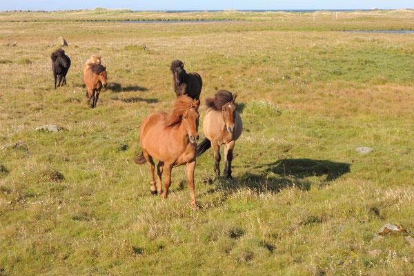 Nicht wegzudenken aus Island sind  die Pferde