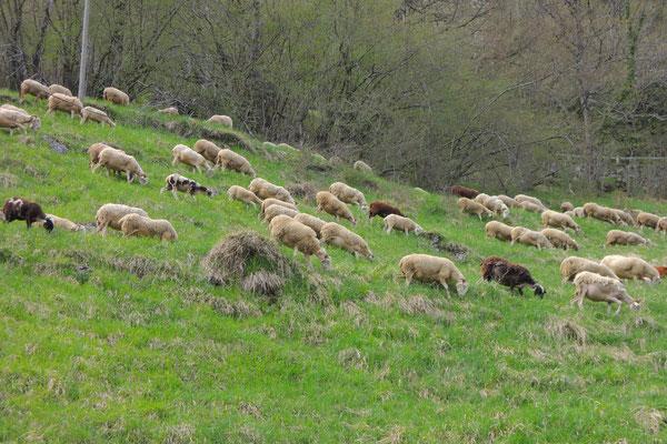 Die Schafe geniessen das erste saftige Grün