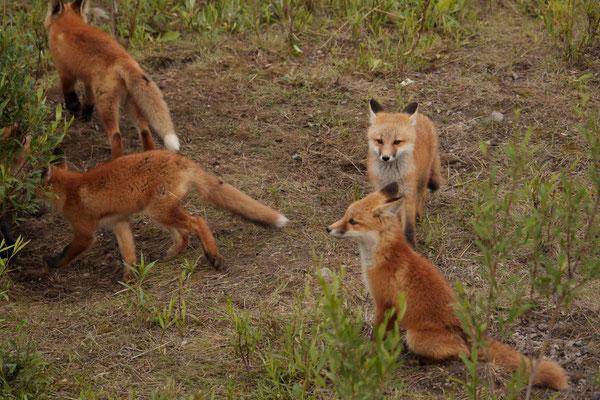 Junge Füchse am Spielen