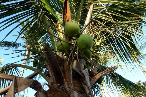 Feine Kokosnüsse hängen an den Palmen
