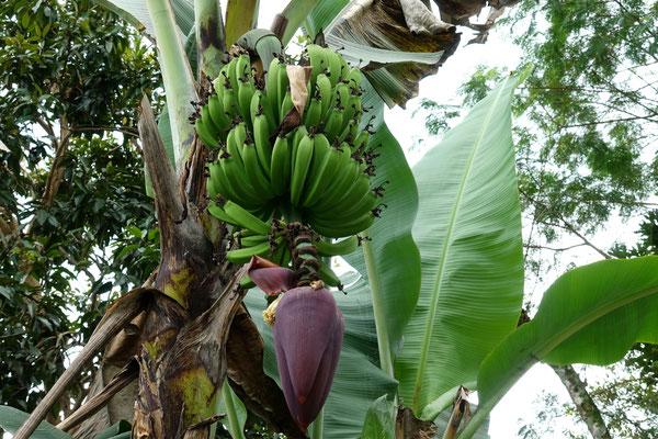 ...und viele Bananen