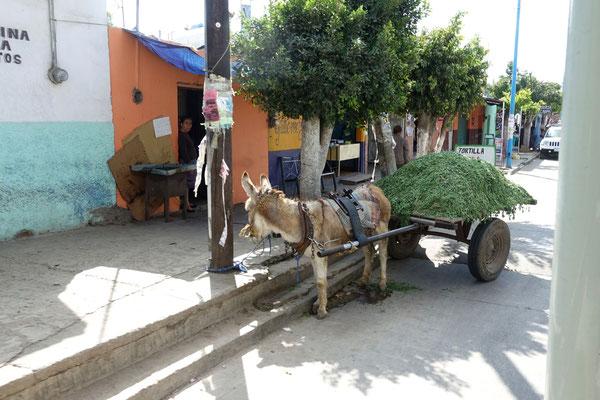 Esel gehören zum Bild in Mexico