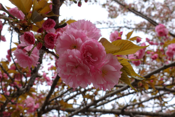 Kleines rosa Wunder