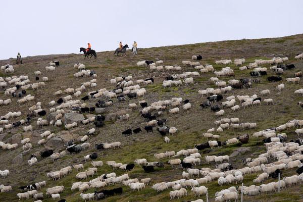 Wir treffen auf einen Schafabtrieb