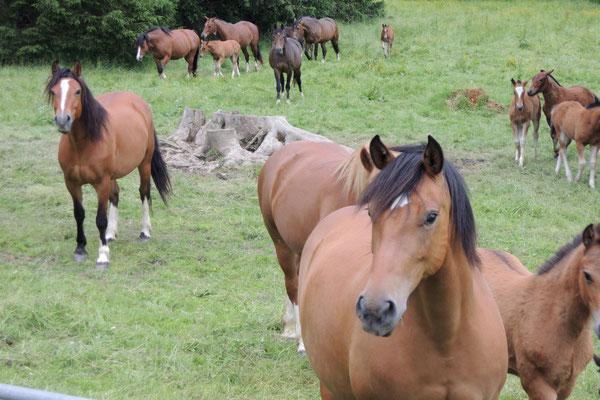 Der Jura ist die Heimat der echten Freiberger Pferde