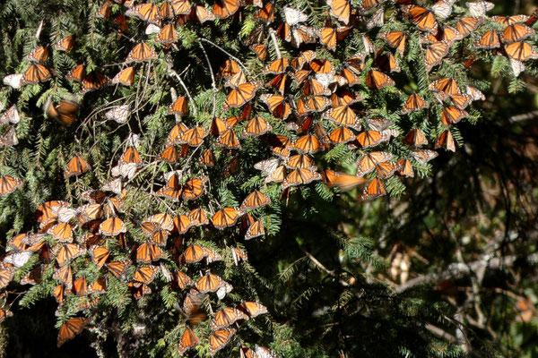 Und da sind sie...die Millionen von Monarchfaltern in ihrem Winterquartier!