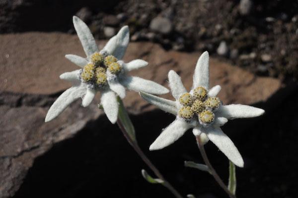 Echte Edelweiss im Botanischen Garten