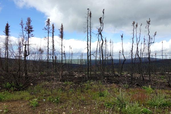 Zeugen von vergangenen Waldbränden