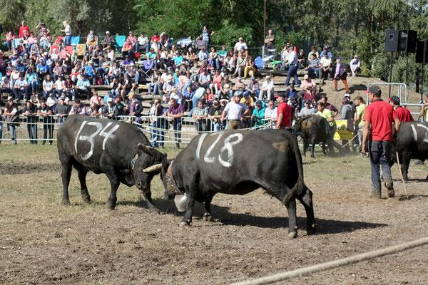 Die Eringer-Kühe kämpfen...