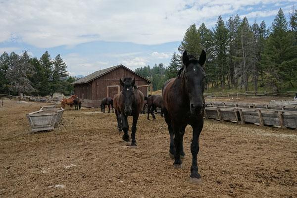 Diese starken Pferde...