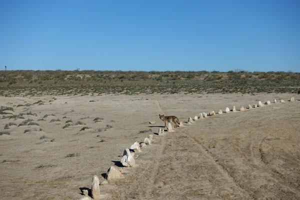 Auch Kojoten sind unterwegs