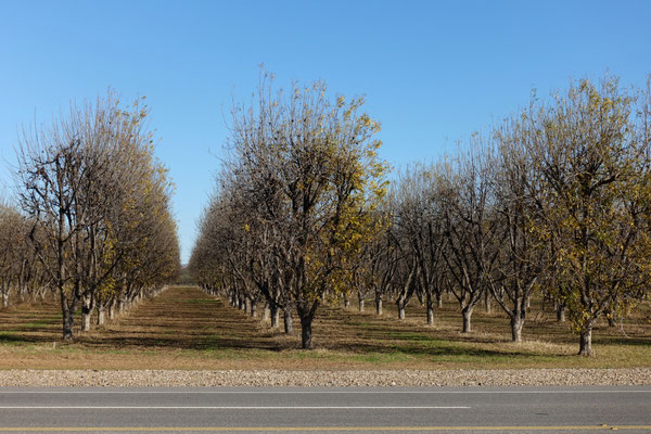 Grosse Pecan-Nuss-Plantagen