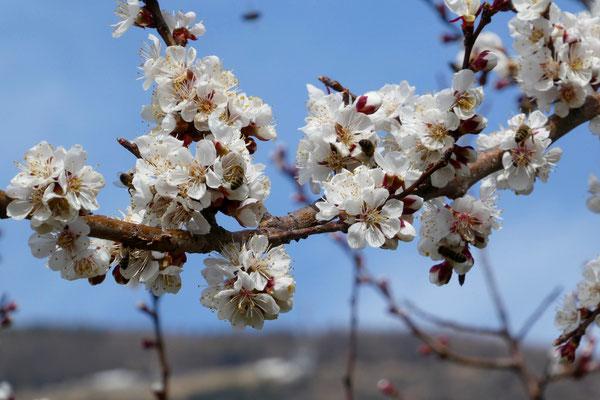 Die Bäume sind voller Blüten, wunderschön!