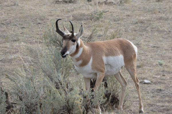 Wildlife...eine Pronghorn Antilope