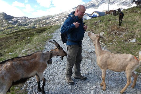 Von Bosco Gurin hoch zur Alp, Mähhhh...ich will ein Leckerli!