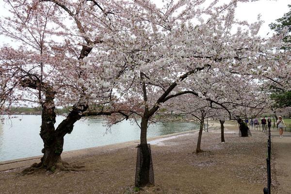 ...ist alles voller japanischer Kirschbäume