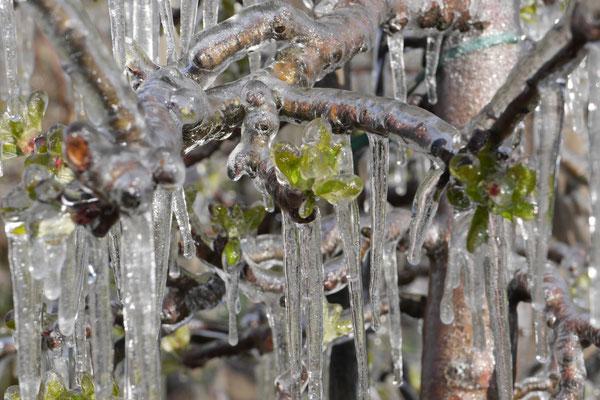 Frost ist angesagt-die schon blühenden Bäumchen werden in Eis gehüllt, das schützt die Blüten