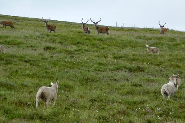 Tiere in der Abgeschiedenheit der Highlands