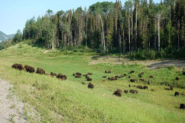 Die Bisons ziehen durchs Land...