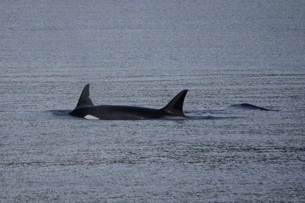 Wale tummeln sich in der Bucht