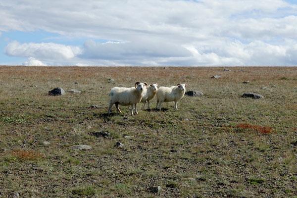 Die Schafe staunen auch
