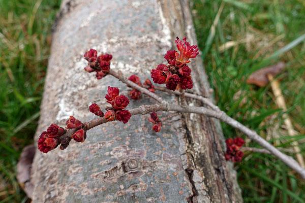 Blutrote Frühlingsboten