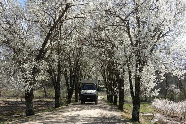 Inmitten der schönsten Frühlingsallee!