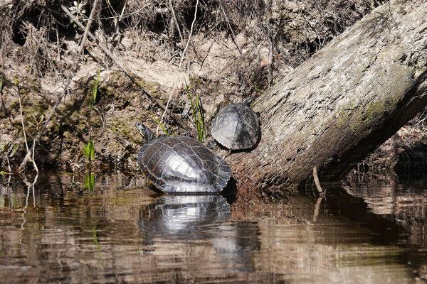 Viele Schildkröten geniessen die Sonne