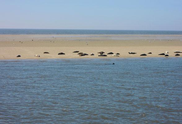 Seehund-Sandbänke im Wattenmeer