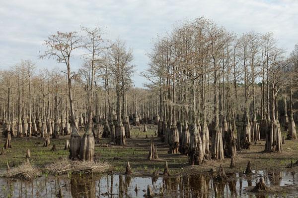 Sumpfbäume im See ohne Wasser...