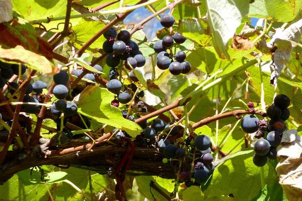 Die Trauben sind süss und blau