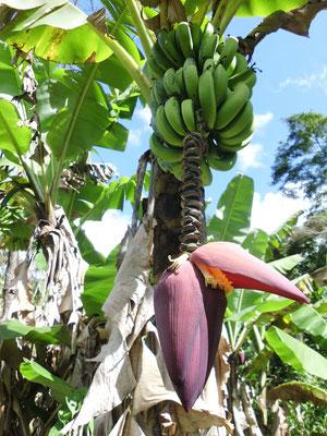 Bananestaude