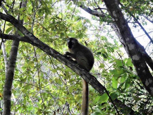 Lemur im Isalo-Gebirge