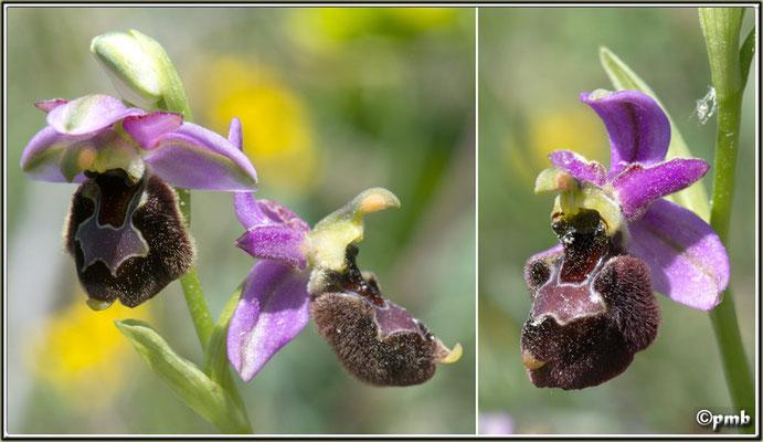 X-Ophrys-bertolonii-X-Ophrys-vetula