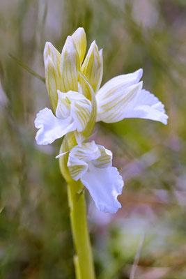 Anacamptis papilionacea subsp. expansa f. albiflora