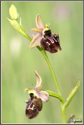 Ophrys-vetula-X-Ophrys-ligustica