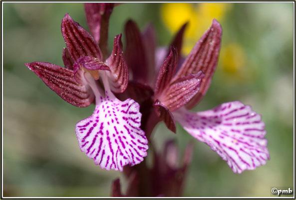 Anacamptis-papilionacea-subsp.-expansa
