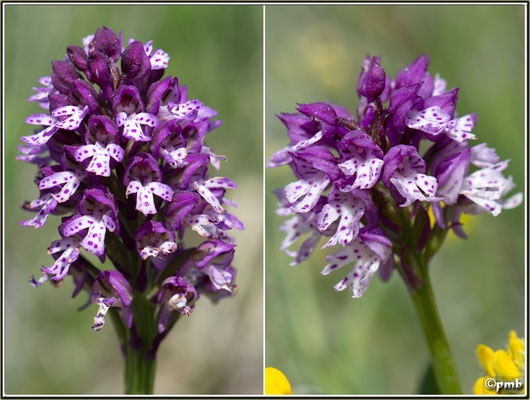 -Neotinea-ustulata-X-Neotinea-tridentata-(N.-x-dietrichiana)