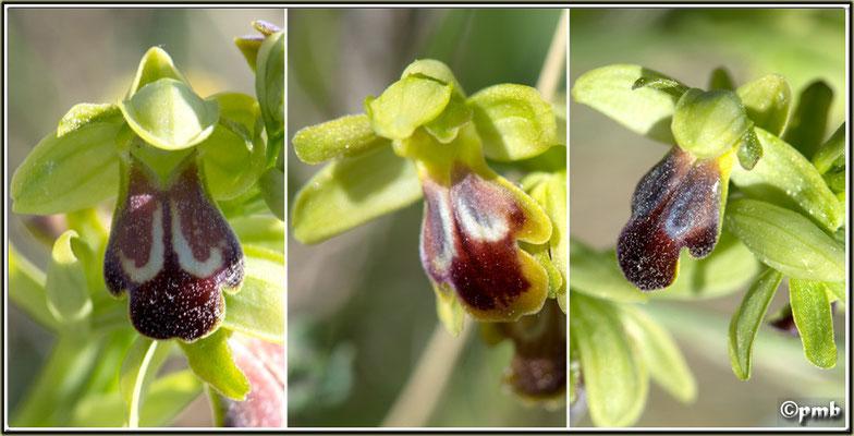 Ophrys-funerea