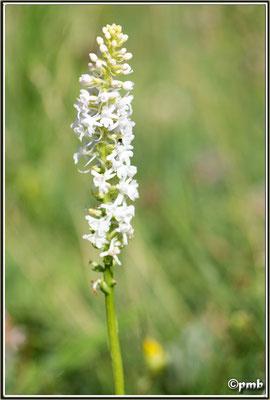 Gymnadenia conopsea, var albiflora